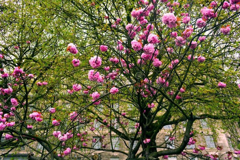 Albero di fioritura con i fiori rosa in primavera, Londra, Regno Unito fotografia stock libera da diritti
