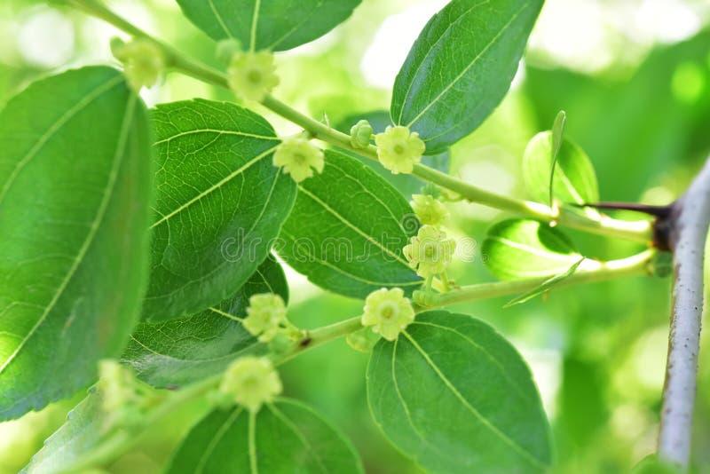 Albero di fioritura del jojoba immagini stock