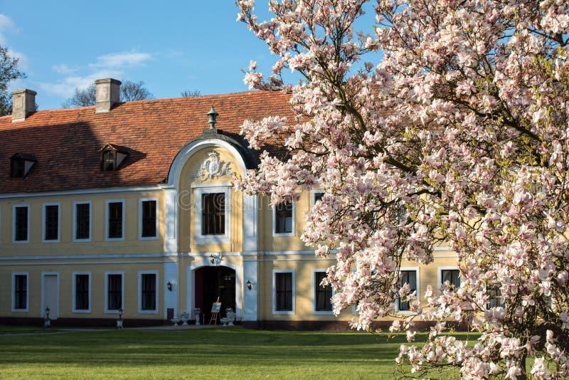 Albero di fioritura della magnolia al palazzo di Bruhl in Brody fotografia stock