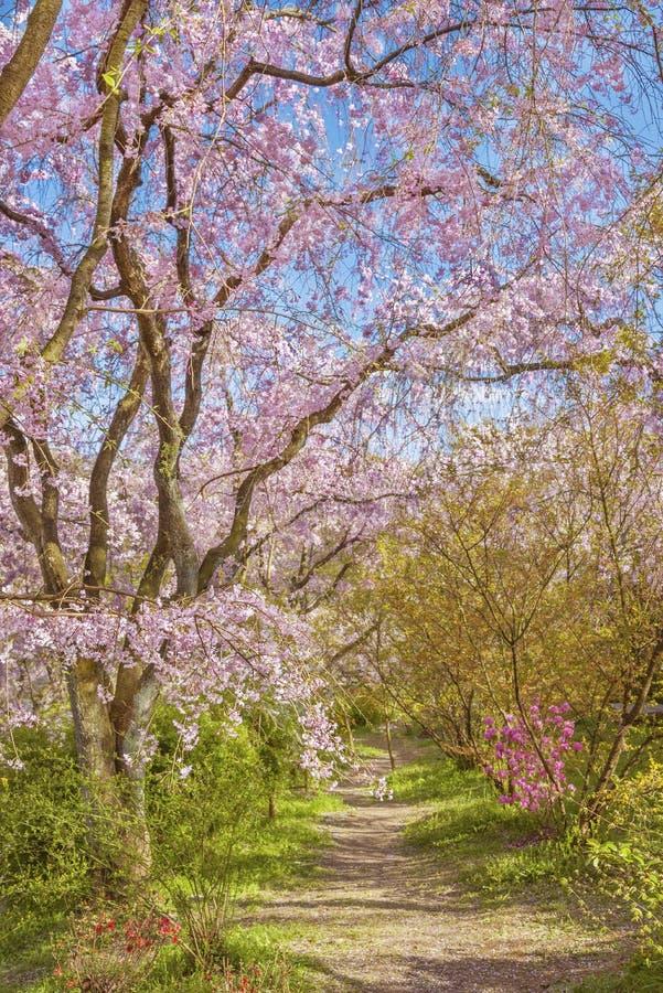 Albero di fioritura di sakura immagini stock libere da diritti