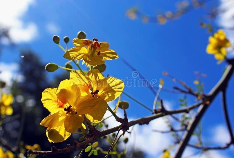 Albero di fioritura giallo di Palo Verde fotografia stock libera da diritti