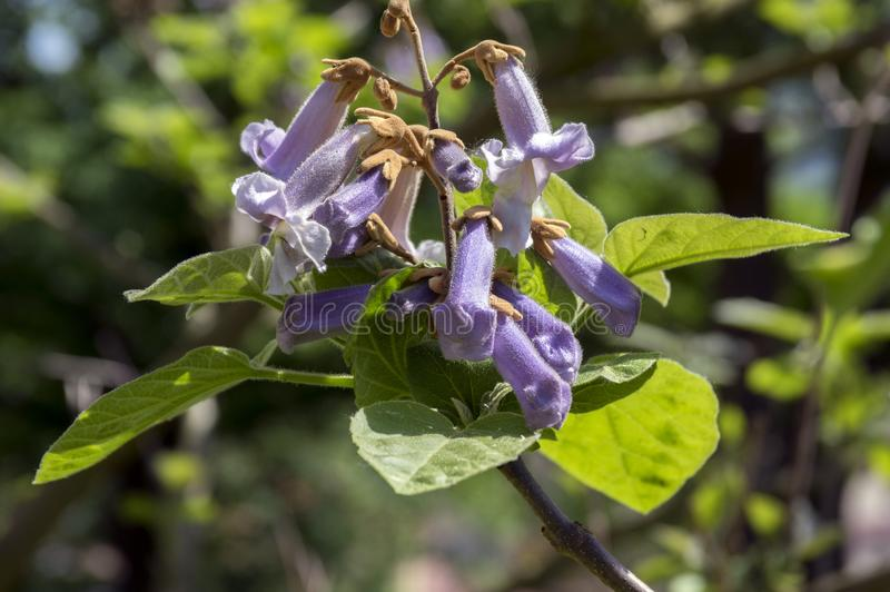 Albero di fioritura ornamentale di paulownia tomentosa, rami con le foglie verdi, semi e fiori di campana viola immagine stock libera da diritti