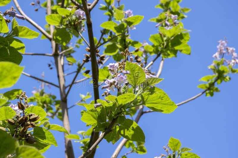 Albero di fioritura ornamentale di paulownia tomentosa, rami con le foglie verdi, semi e fiori di campana viola fotografia stock