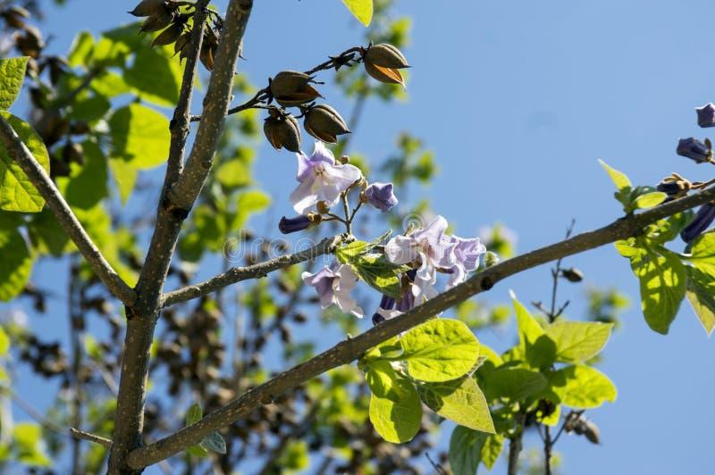 Albero di fioritura ornamentale di paulownia tomentosa, rami con le foglie verdi, semi e fiori di campana viola immagini stock