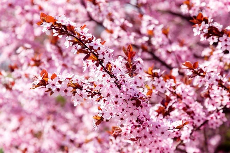 Albero di fioritura rosa della magnolia, per fondo fotografie stock