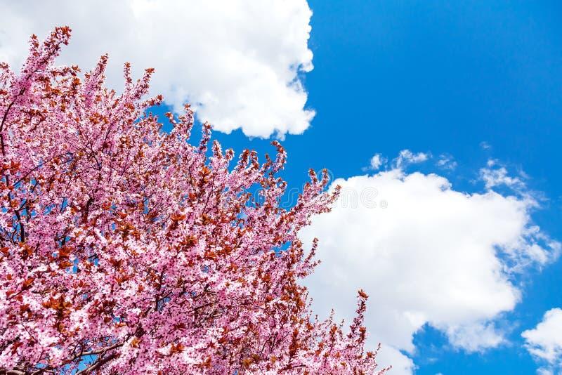Albero di fioritura rosa della magnolia sul fondo del cielo blu fotografie stock