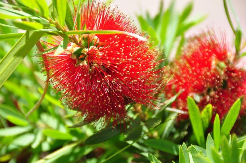Albero di fioritura tropicale con i fiori del tipo di soffio rosso scuro fotografia stock