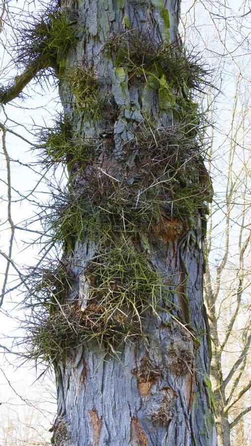 Albero di Gleditschie, albero di cuoio delle coperture con le punture lunghe, spine in corteccia fotografia stock