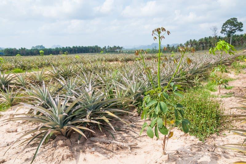 Albero di gomma di coltivazione mista con l 39 ananas ananas for Albero di ananas