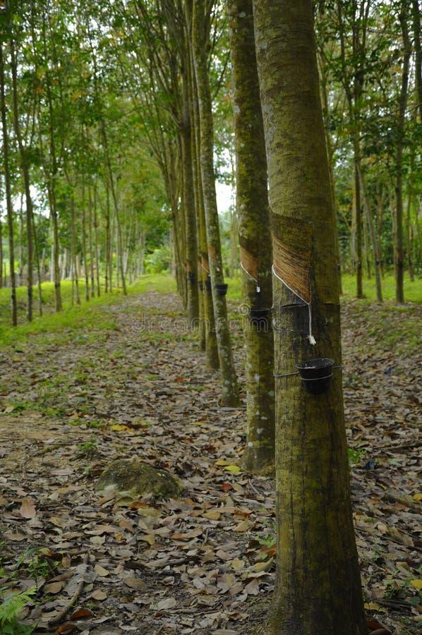 Albero di gomma (hevea brasiliensis) fotografie stock