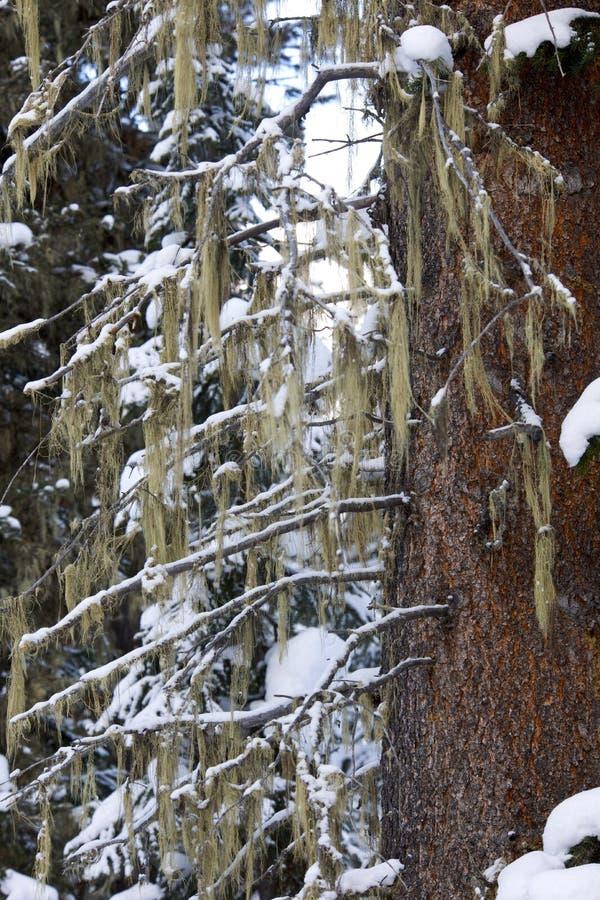 Albero di inverno coperto di muschio immagini stock