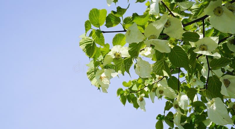 Albero di involucrata di Davidia con i grandi bei fiori incredibili e le foglie cordate contro il fondo del cielo blu vicino su fotografie stock libere da diritti