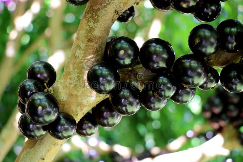 Albero di Jaboticaba o di Jabuticaba in pieno dei frutti violaceo-neri fotografie stock