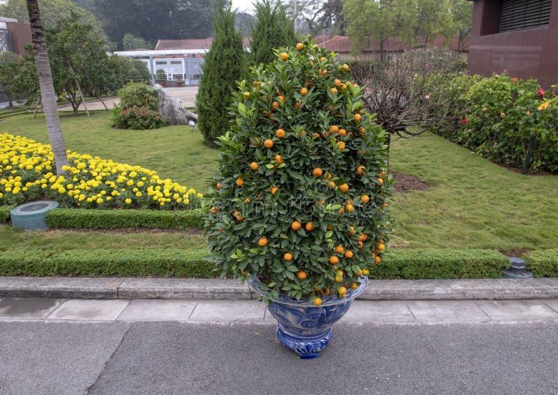 Albero di kumquat di Marumi e fiori gialli che celebrano Tet, su esposizione vicino a Ho Chi Minh Mausoleum, Hanoi, Vietnam fotografie stock libere da diritti