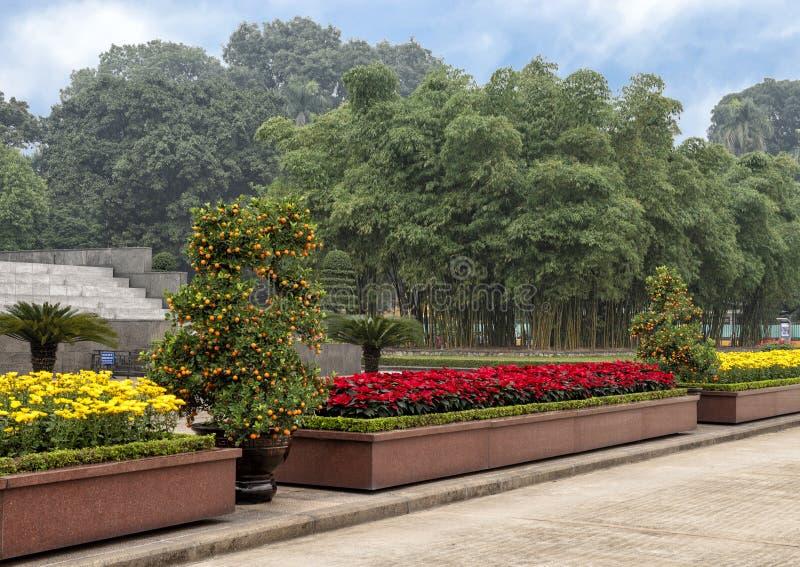 Albero di kumquat di Marumi e fiori gialli che celebrano Tet, su esposizione vicino a Ho Chi Minh Mausoleum, Hanoi, Vietnam immagini stock libere da diritti