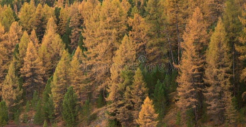 Albero di larice giallo luminoso Forest At Good Weather Day nella stagione di caduta fotografia stock