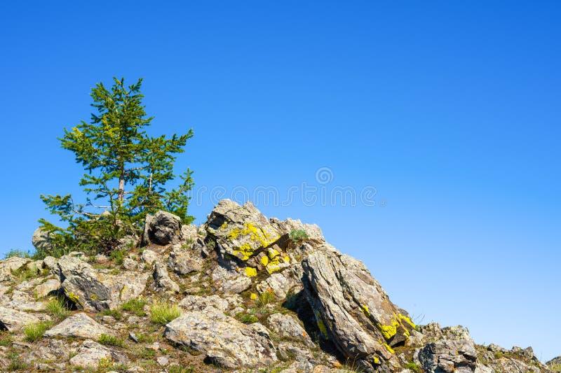 Albero di larice solo su una roccia fotografia stock libera da diritti