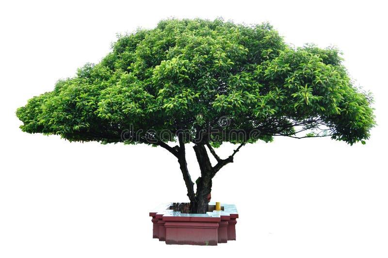 Albero di legno del richiamo immagine stock libera da diritti