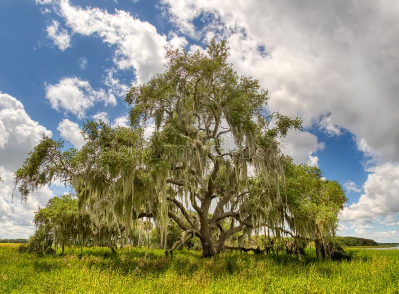 Albero di Live Oak nel parco di stato del fiume di Myakka Sarasota Florida fotografie stock