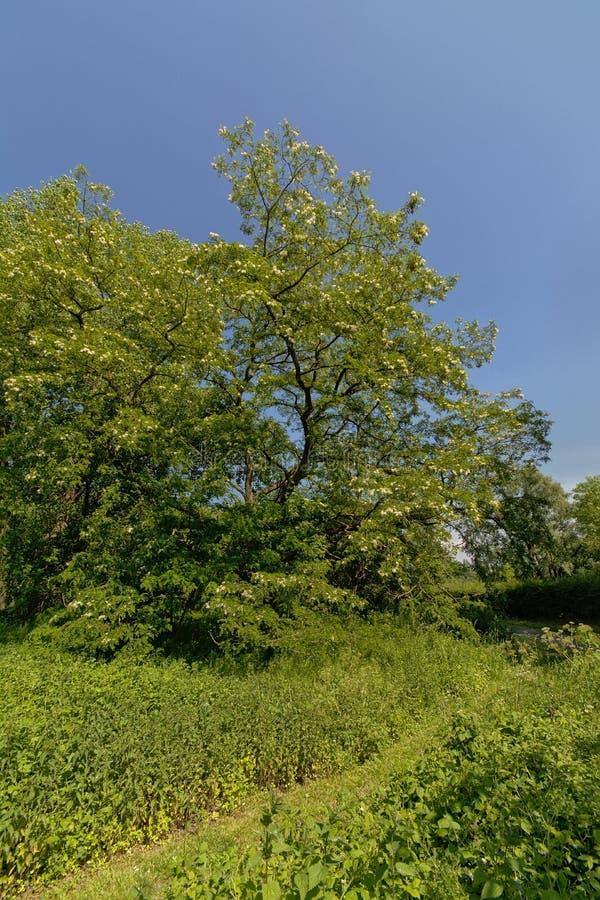 Albero di locusta nera soleggiato su un chiaro cielo blu immagine stock libera da diritti