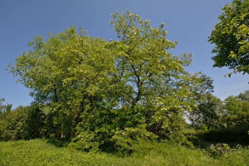 Albero di locusta nera soleggiato su un chiaro cielo blu fotografia stock libera da diritti