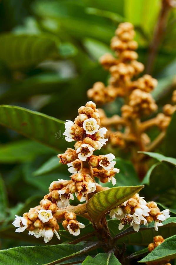 Albero di Loquat con il fiore immagine stock