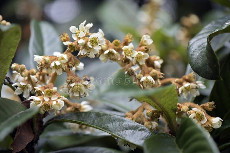 Albero di Loquat in fioritura fotografia stock libera da diritti