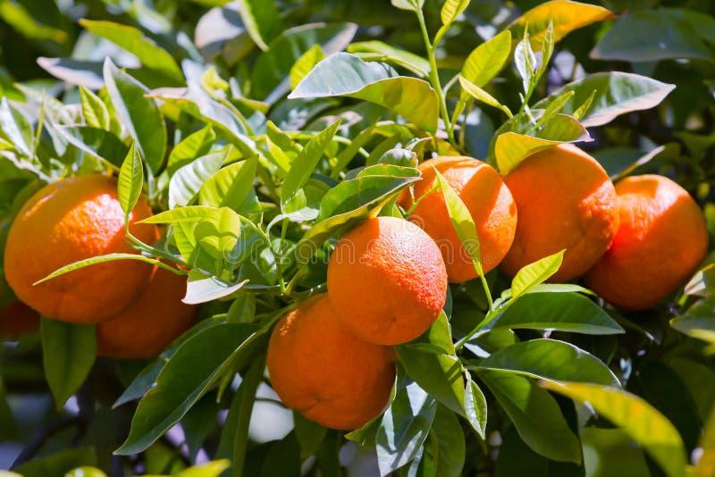 Albero di mandarino immagine stock