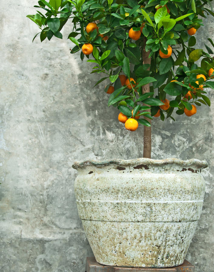 Albero di mandarino in vecchio POT di argilla immagine stock