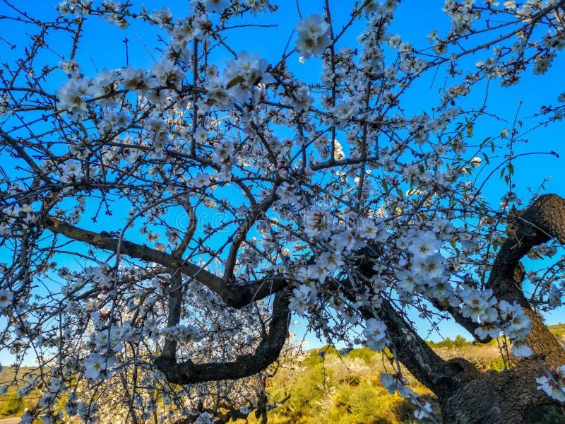 Albero di mandorla in piena fioritura fotografia stock