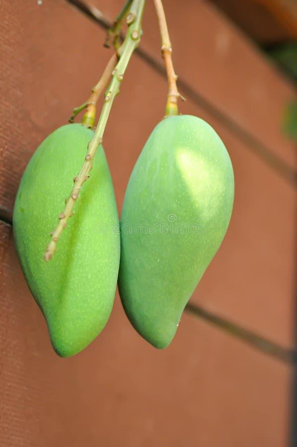 Albero di mango vicino al recinto fotografie stock libere da diritti