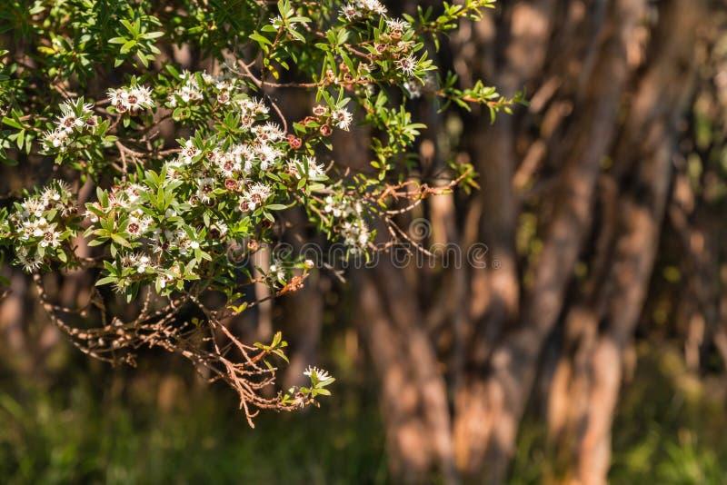 Albero di manuka della Nuova Zelanda in fioritura fotografia stock