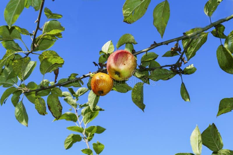 Albero di mele con alcune mele e infestazione fungina sul tronco fotografia stock libera da diritti