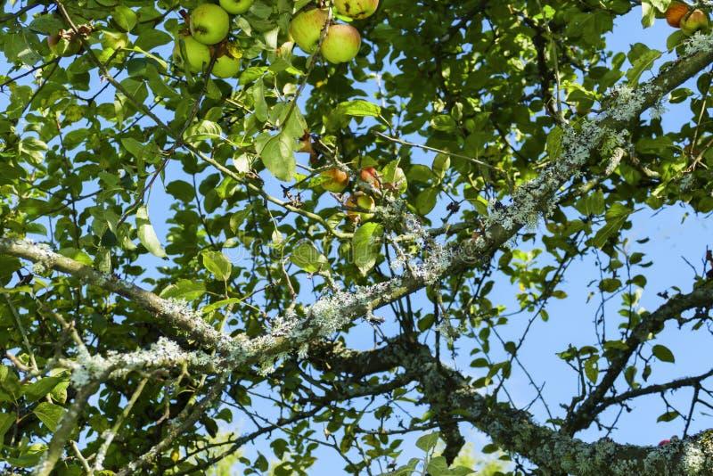 Albero di mele con alcune mele e infestazione fungina sul tronco fotografie stock libere da diritti