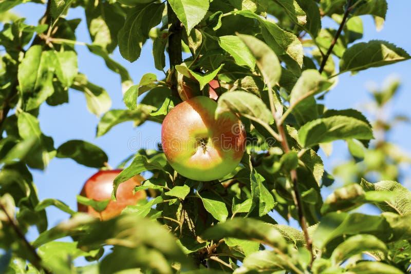Albero di mele con alcune mele e infestazione fungina sul tronco immagini stock