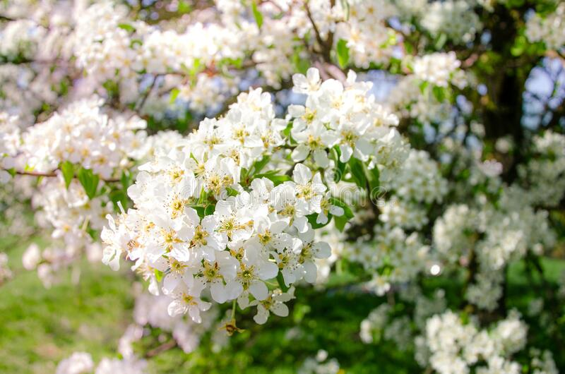 Albero di mele in fioritura Fiori bianchi fotografia stock