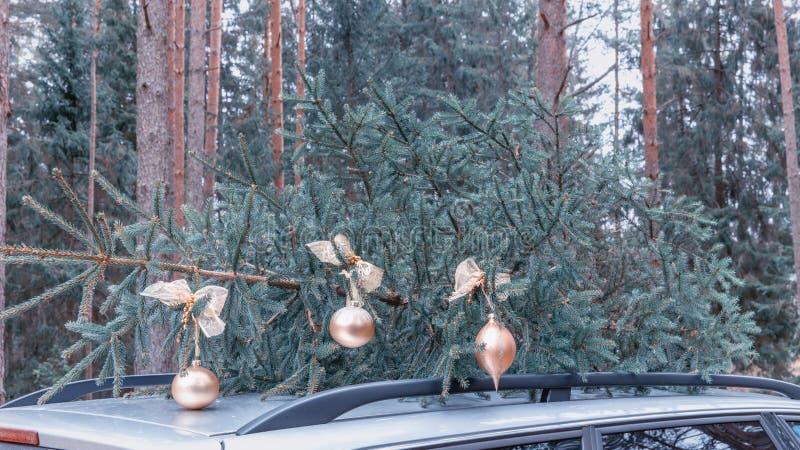 Albero di Natale Abete naturale del taglio fresco per la decorazione di festa di festival di Natale, simbolico dell'evento della  fotografia stock libera da diritti