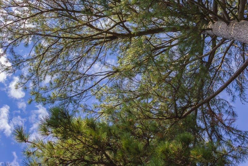 Albero di Natale che coltiva giardino botanico immagini stock libere da diritti