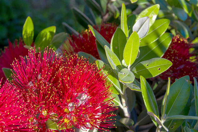 Albero di Natale di Pohutukawa Nuova Zelanda con i fiori rossi immagini stock libere da diritti