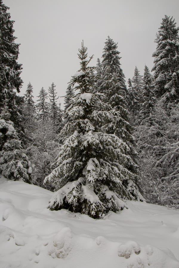 Albero di Natale di Snowy nella foresta immagine stock libera da diritti