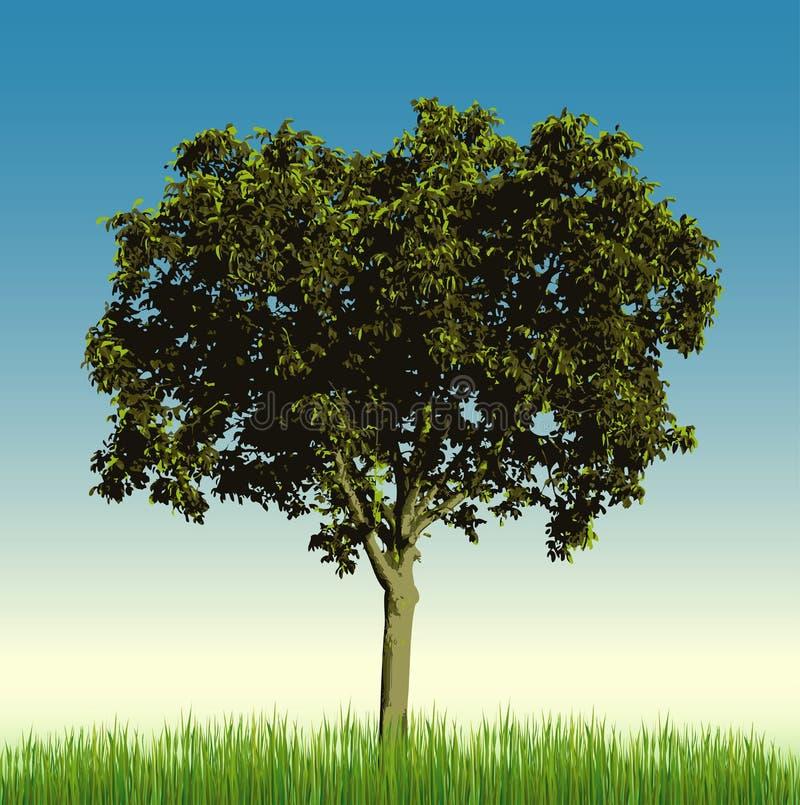 albero di noce dell'erba illustrazione di stock