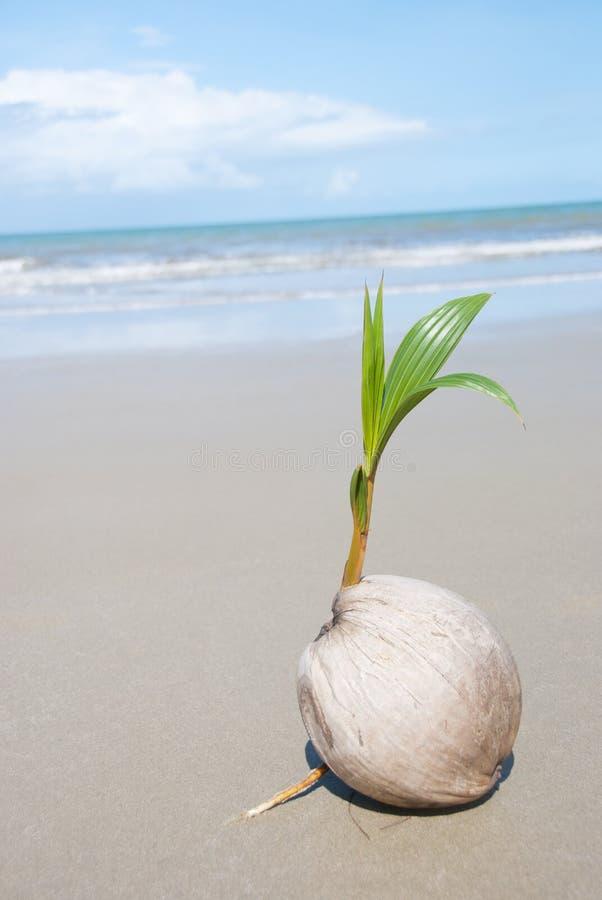 Albero di noce di cocco che cresce sulla spiaggia - Radici palma ...