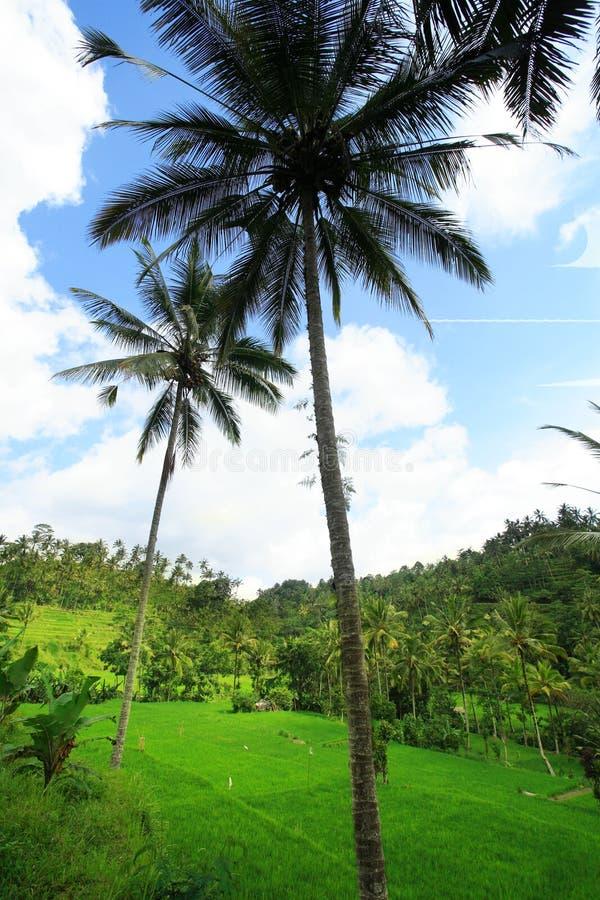 Albero di noce di cocco e giacimento del riso immagini stock libere da diritti
