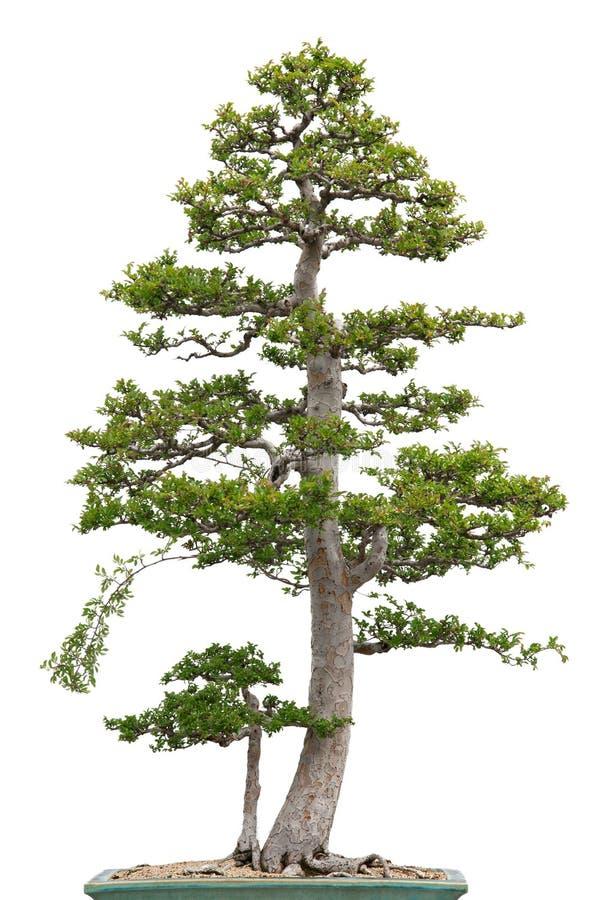 Albero di olmo elegante dei bonsai su priorità bassa bianca fotografia stock libera da diritti