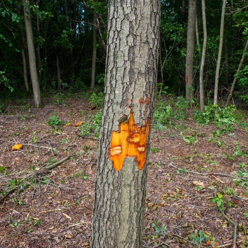 Albero di ontano segnato per disboscamento immagine stock libera da diritti