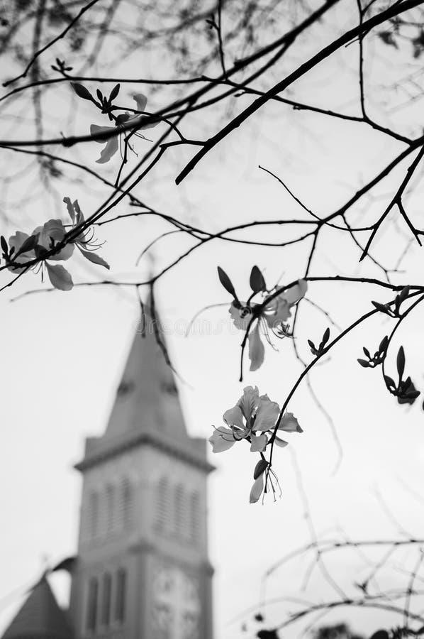 Albero di orchidea o fiore porpora di bauhinia variegata in bianco e nero fotografie stock