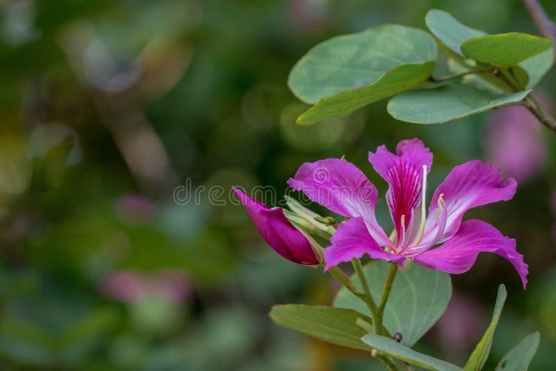 Albero di orchidea porpora di bello nome rosa del fiore, albero della farfalla nel fondo della natura fotografie stock