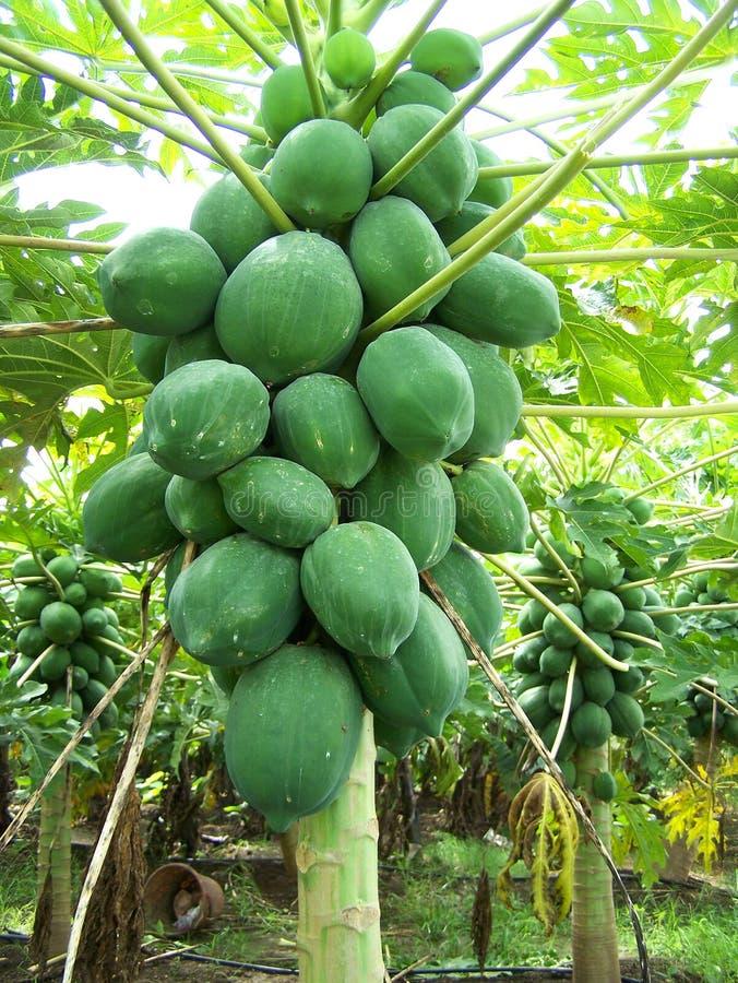 Albero di papaia immagine stock libera da diritti