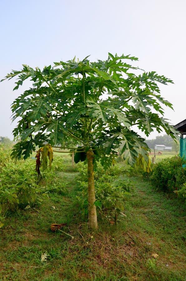 Albero di papaia di agricoltura fotografia stock