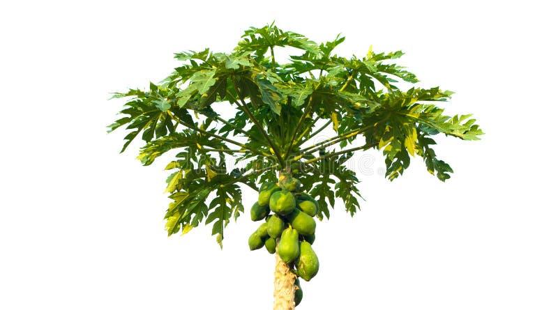 albero di papaia isolato, albero verde isolato su fondo bianco fotografie stock libere da diritti